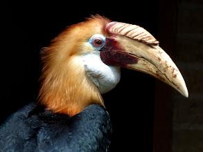 Photo: Papuahornvogel (Papuan Hornbill, Rhyticeros plicatus) Neuguinea, Salomonen (Fotografiert im Vogelpark Alphen, NL)