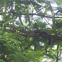 Sciurus carolinensis