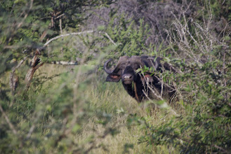 Photo: Cape buffalo