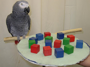 "Photo: Research with captive African grey parrots, perhaps most notably Irene Pepperberg's work with an individual named Alex, has demonstrated they possess the ability to associate simple human words with meanings, and to intelligently apply the abstract concepts of shape, colour, number, zero-sense, etc. According to Pepperberg and other scientists, they perform many cognitive tasks at the level of dolphins, chimpanzees, and even human toddlers. Another notable African Grey is N'kisi, which in 2004 was said to have a vocabulary of over 950 words which she used in creative ways. For example, when Jane Goodall visited N'kisi in his New York home, he greeted her with ""Got a chimp?"" because he had seen pictures of her with chimpanzees in Africa.  African Grey parrots were able to coordinate and collaborate with each other to an extent. They were able to solve problems such as two birds having to pull strings at the same time to obtain food. In another example, one bird stood on a perch to release a food-laden tray, while the other pulled the tray out from the test apparatus. Both would then feed. The birds were observed waiting for their partners to perform the necessary actions so their behaviour could be synchronized. The parrots appeared to express individual preferences as to which of the other test birds they would work with."