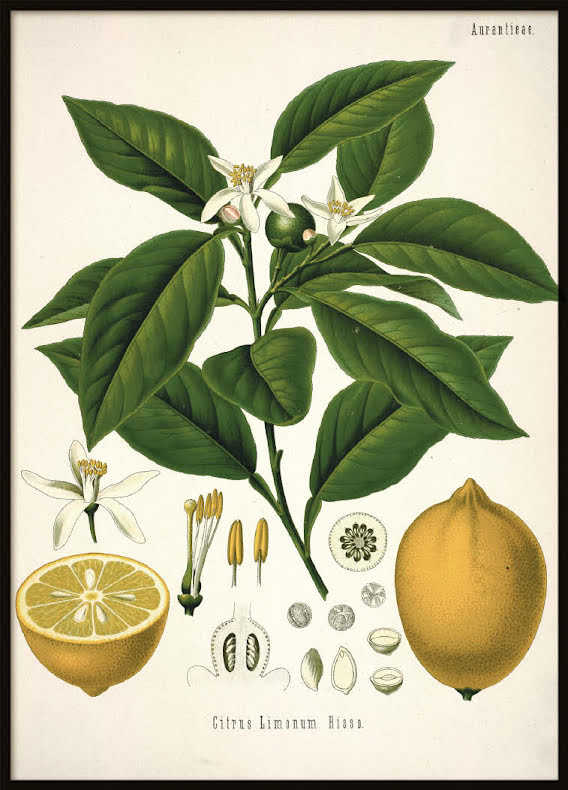 Vintage Citrus, Poster