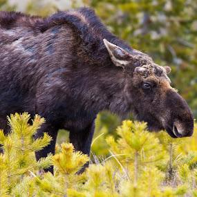 by John LeBlanc - Animals Other Mammals ( fauna, moose,  )