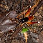 Amazonian Camel Cricket