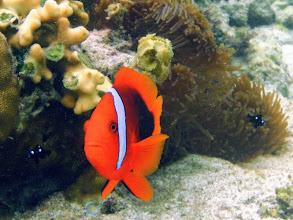 Photo: Amphiprion frenatus (Tomato Clownfish), Siquijor Island, Philippines