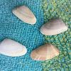 Coquina clams