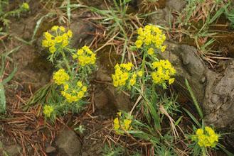 Photo: wilczomlecz sosnka (Euphorbia cyparissias)