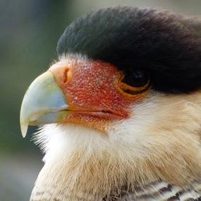 bird of prey by Nick Parker - Animals Birds ( bird, wild, prey, birds,  )