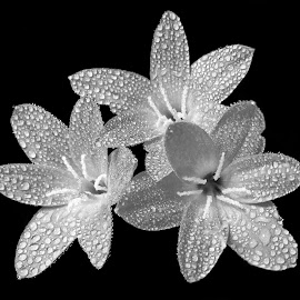 Flowers  by Asif Bora - Black & White Flowers & Plants