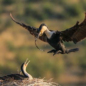 Cormorant breeding pair. by Dirk Luus - Animals Birds ( nature, breeding, pair, cormorant, birds,  )