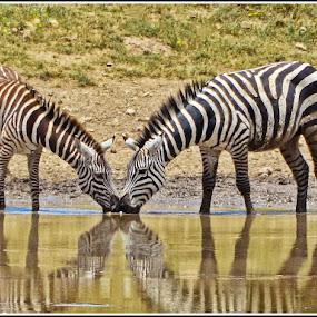 Drinking Buddies by Giancarlo Bisone - Animals Other Mammals ( safari, zebra, tanzania, africa )