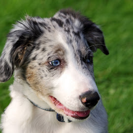 Australian Sheep-dog Puppy by Ingrid Anderson-Riley - Animals - Dogs Puppies