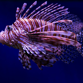 Lionfish by Brook Kornegay - Animals Fish ( reef, lionfish, fish, sea, ocean,  )