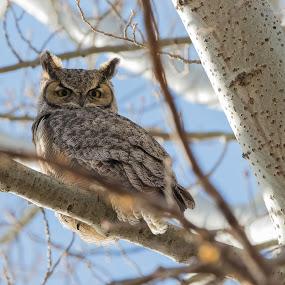 Great horned owl  by Angie Birmingham - Animals Birds ( sky, great, tree, owl, grey )