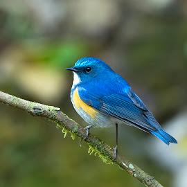 Himalayan blue tail male by Suraj Ramamurthy - Animals Birds ( #thailand, #changmai, #nikond4, #nikkor500mm )