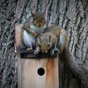 squirrel pair2.jpg