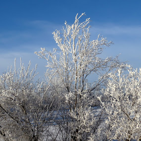 Frosty bush by Rose McAllister - Nature Up Close Trees & Bushes ( winter, nature, cold, snow, frost, bush, landscape,  )