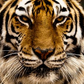 I'm Watching you by Myra Brizendine Wilson - Animals Lions, Tigers & Big Cats ( big cats, lioness, big cats sanchary, lions, tigers, suzie's pride,  )