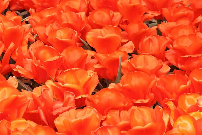 Tulipani di paolo-spagg