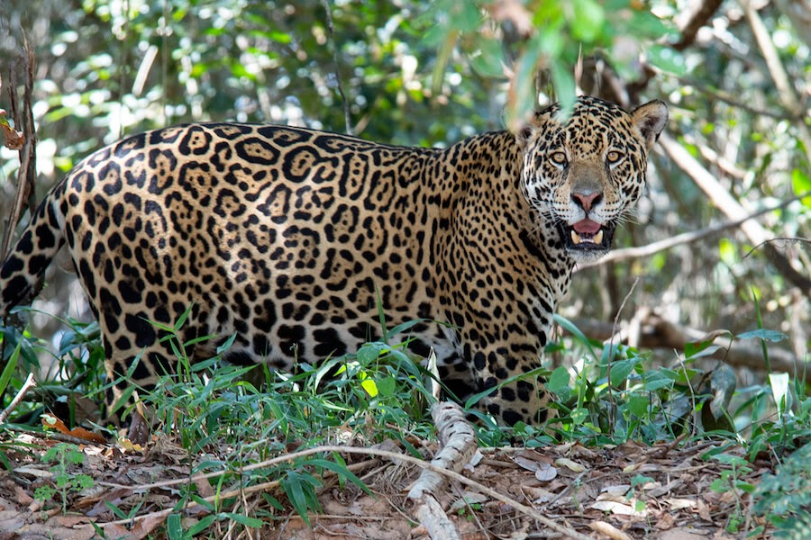 a jaguar in the jungles of kaa iya national park near santa cruz bolivia