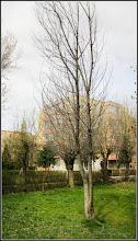 Photo: Magnolie - de pe Calea Victoriei, alee Mr.2 - 2017.03.27
