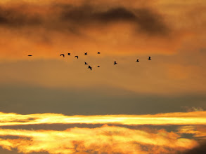 Photo: 17 Jan 14 Priorslee Lake Some of the many large gulls passing to the SE of the lake against the sunrise. (Ed Wilson)