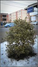 Photo: Laur (Ilex aquifolium variegata) - de pe Calea Victoriei - 2017.01.16