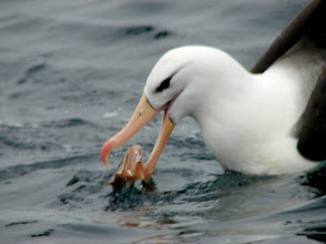 Photo: Black-browed albatross - pelagic trip out of Vina del Mar, Chile - Nov 16, 2010