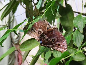 Photo: The similar blue morpho has more spots and stunning neon blue upper wings that are difficult to catch in a photo.