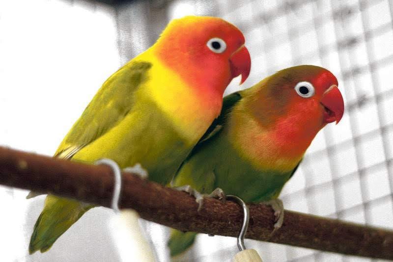 Deux tourtereaux agapornis amoureux