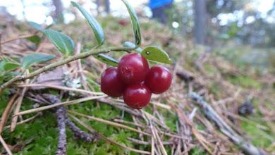 Photo: Lingonberries