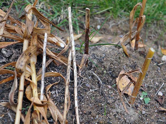 Признаки обрезки лилии на зиму