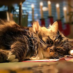 Missan by Rosita Ramner - Animals - Cats Portraits ( sweden )