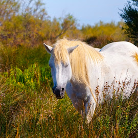 Wild Camargue horse by Lajos E - Animals Horses ( wild, rhone, wood, grass, delta, horse, camargue, white, marsh, french, gray, equus, national park, france, grey )