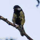 Great Tit; Carbonero Común