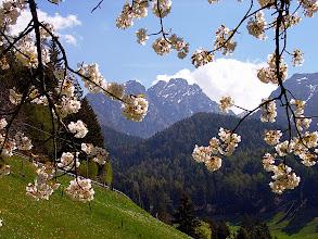 Photo: Kirschblüte beim Berggasthof Gsteier (1370 m)