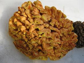 Photo: Polypore souffré/ Chicken mushroom