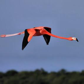 Long Long Flight by Esteban Rios - Animals Birds ( flight, flamingo, pink )