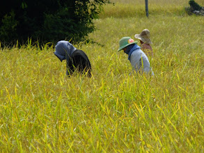 Photo: Harvesting rice by hand
