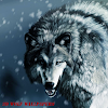 Wolf Wallpapers HD new