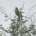 Striated Grassbird