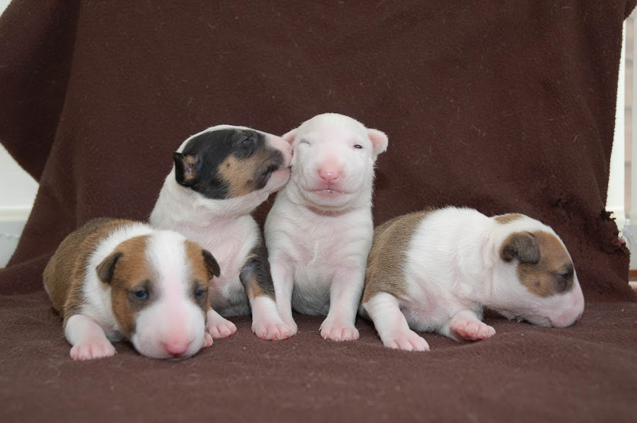 by John Swain - Animals - Dogs Puppies (  )