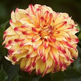 Dahlia 9009~ 1 by Raphael RaCcoon - Flowers Single Flower