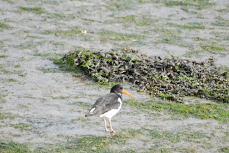 Photo: Oystercatcher