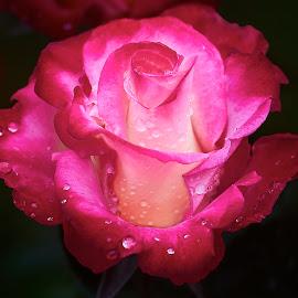 0 Rose 9837~ by Raphael RaCcoon - Flowers Single Flower
