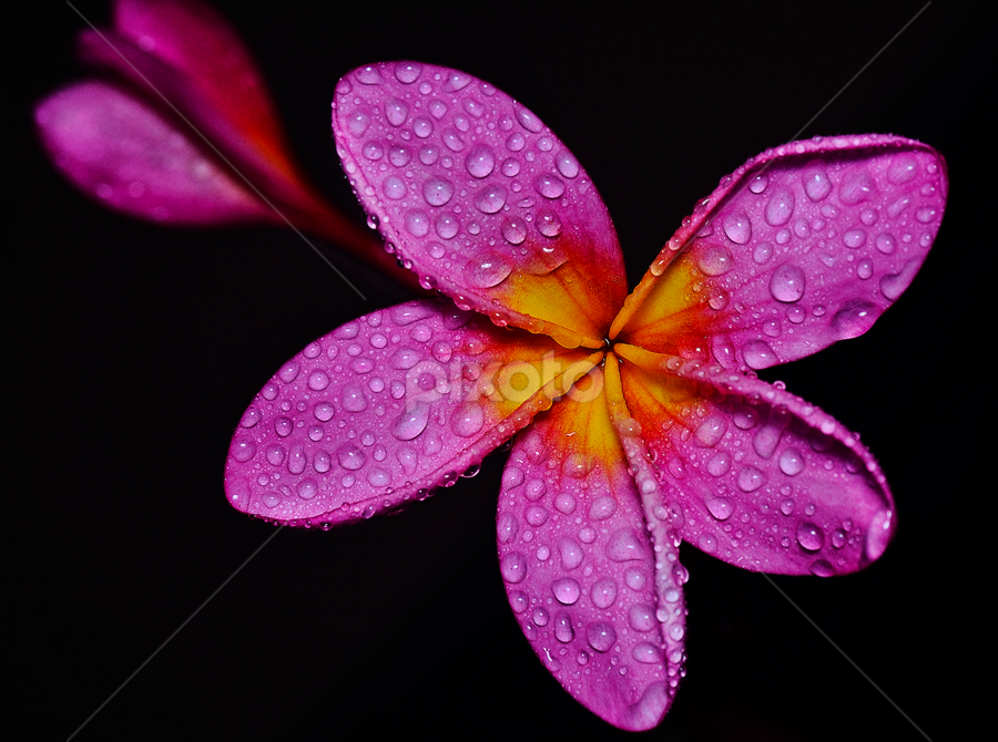 by SweeMing YOUNG - Nature Up Close Flowers - 2011-2013 ( plant, plumeria, dogbane, apocynaceae, nature, tree, pink, frangipani, yellow, flower )