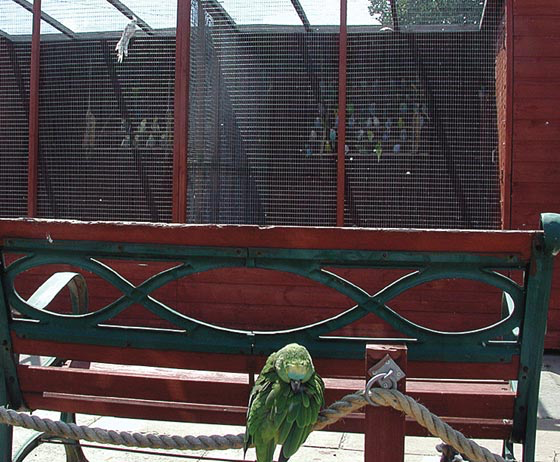 A free-flying Amazon in an English aviculture facility is exposed to untested budgerigars and cockatiels