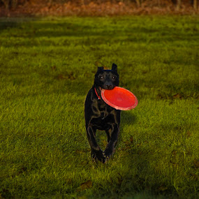 Gryffendor 3 by Dan Miller - Animals - Dogs Playing (  )