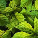 LWP Зеленые Листья icon