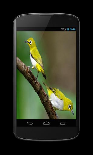 Gallery Burung Pleci
