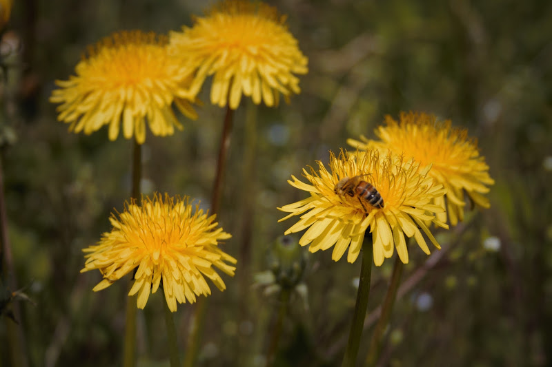 L'ape al lavoro... di Reginato